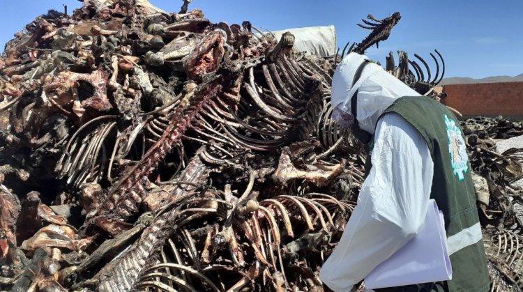 SENASAG clausura predios donde se faenaba carne de caballo y burro