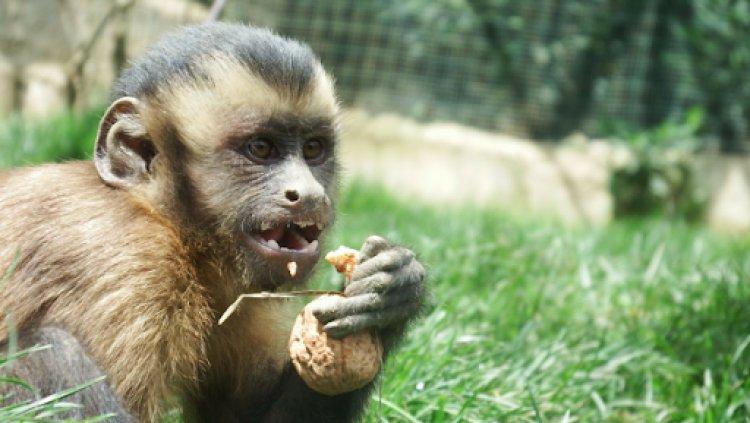 Monos afectados por incendios forestales en Santa Cruz serán trasladados a Tarija